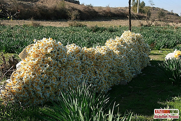 عکس یه شاخه گل نرگس